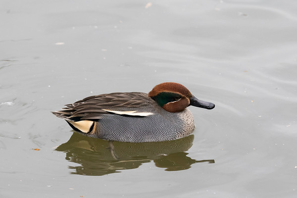 wintertaling, common teal