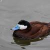 rosse stekelstaart, ruddy duck