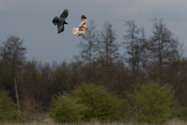 bruine kiekendief, marsh harrier raaf, common raven