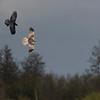 bruine kiekendief, marsh harrier<br /> raaf, common raven