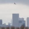 grutto, blacktailed godwit<br /> rotterdam
