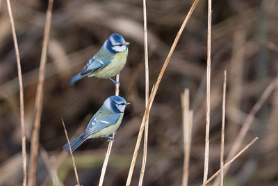 pimpelmees, blue tit