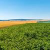 Webster Wheat Harvest 2016-27