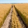 Webster Wheat Harvest 2016-29