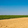 Webster Wheat Harvest 2016-23