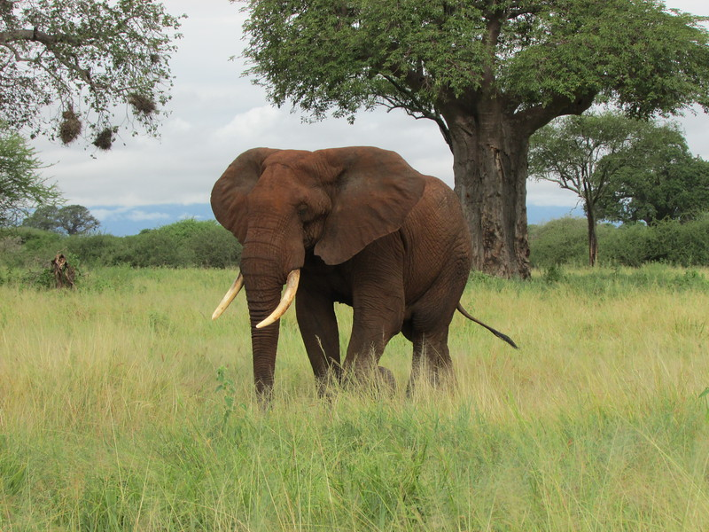 Huge bull elephant in front of baobab tree