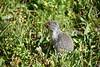 Columbia Ground Squirrel