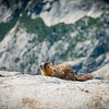 Mr. Marmot is ready to pounce!