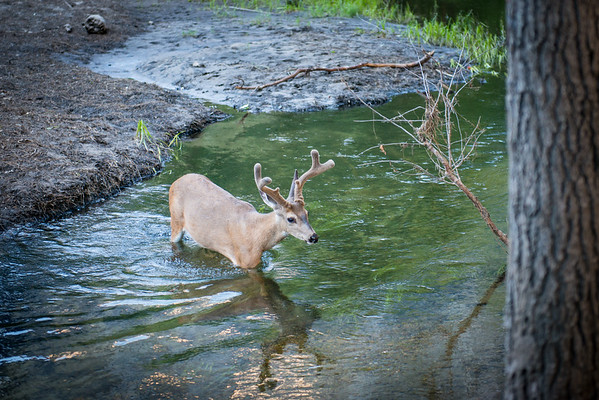We found a deer crossing the river