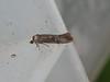 Ash Bud Moth