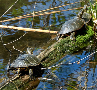 16-04-22 three turtles in the sun