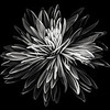 chrysanthemum deconstructed