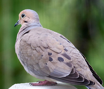 16-05-10 mourning dove on deck