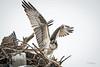 Osprey juvenille first flights....