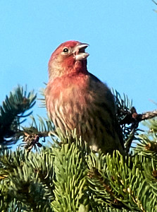 16-04-13 house finch in evergreen