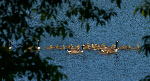 16-05-20 geese and goslings swimming