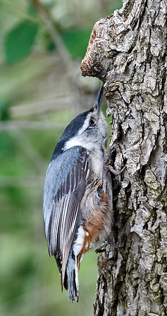 16-04-30 red-breasted nuthatch probing for food