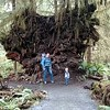 A rather large tree stump.  Olympic, NP.