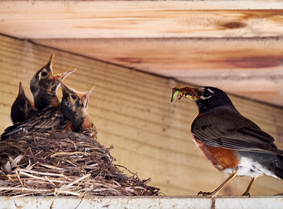 16-05-20 mother robin returns from shoppping