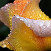 Bronze Star Rose with water droplets