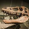 Albertasaurus at Queen's University.