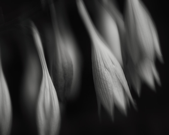 hosta flowers, windy afternoon