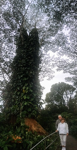 One of the large trees in Akaka Falls State Park.
