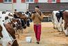 Viehschau des Viehzuchtvereins Bipperamt am 08.10.2016 in Rumisberg - Beurteilung der Kühe - Kälbervorführung und Misswahl auf dem Viehschauplatz © Patrick Lüthy/IMAGOpress.com