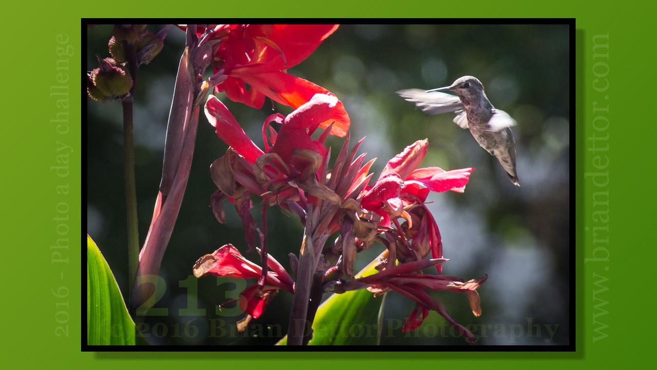 Day #213 - Hummingbird (Carol's Garden)