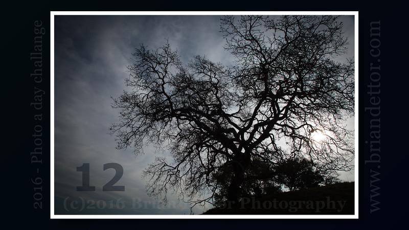 Day #12 - China Camp Oak