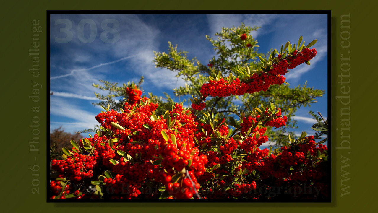 Day #308 - Hawthorn Berries