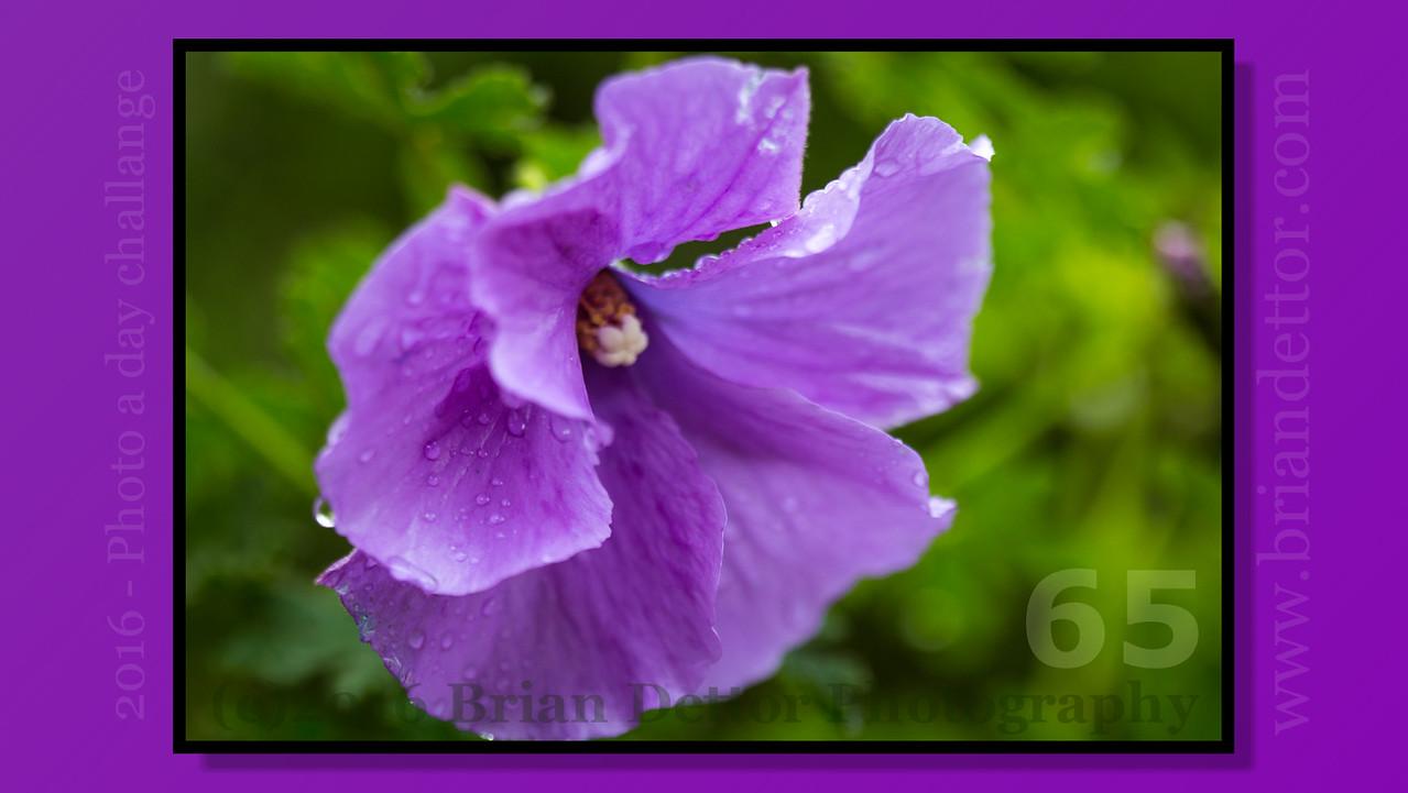 Day #65 - Purple Hibiscus (Carol's Garden)