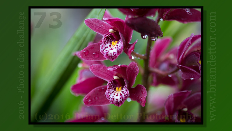 Day #73 - Cymbidium Orchid (Barbara's Garden)