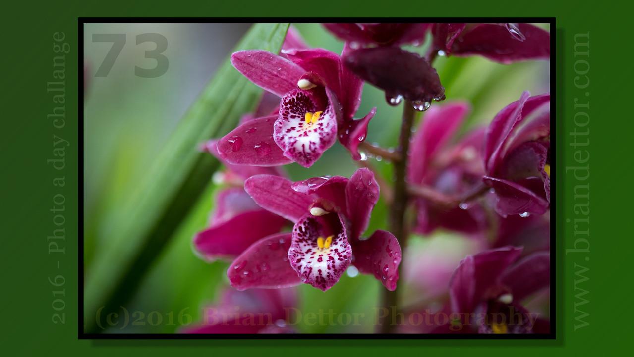Day #73 - Cymbidium Orchid (Barbara's Garden)