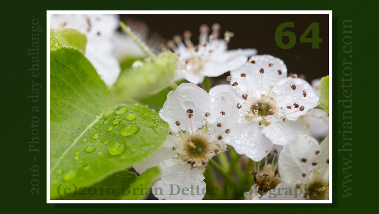 Day #64 - Flowering Pear Blossom