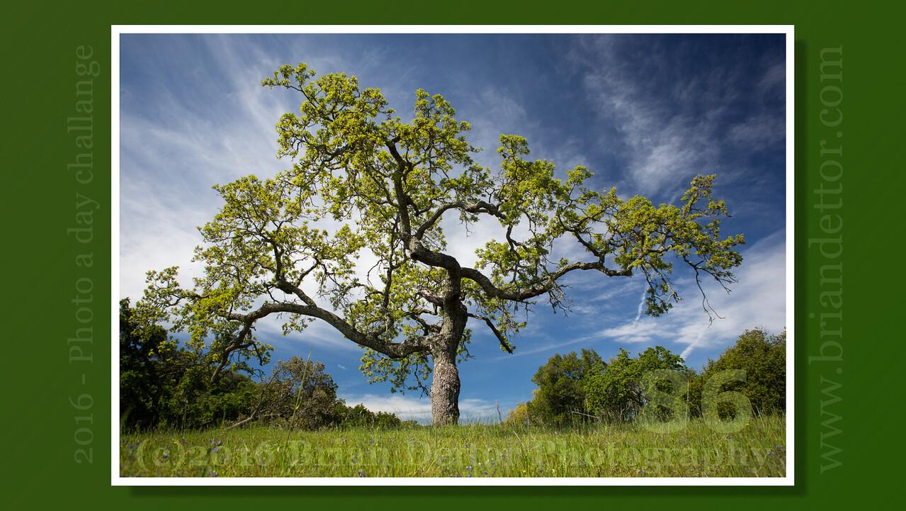 Day #86 - Ponti Fire Road Oak