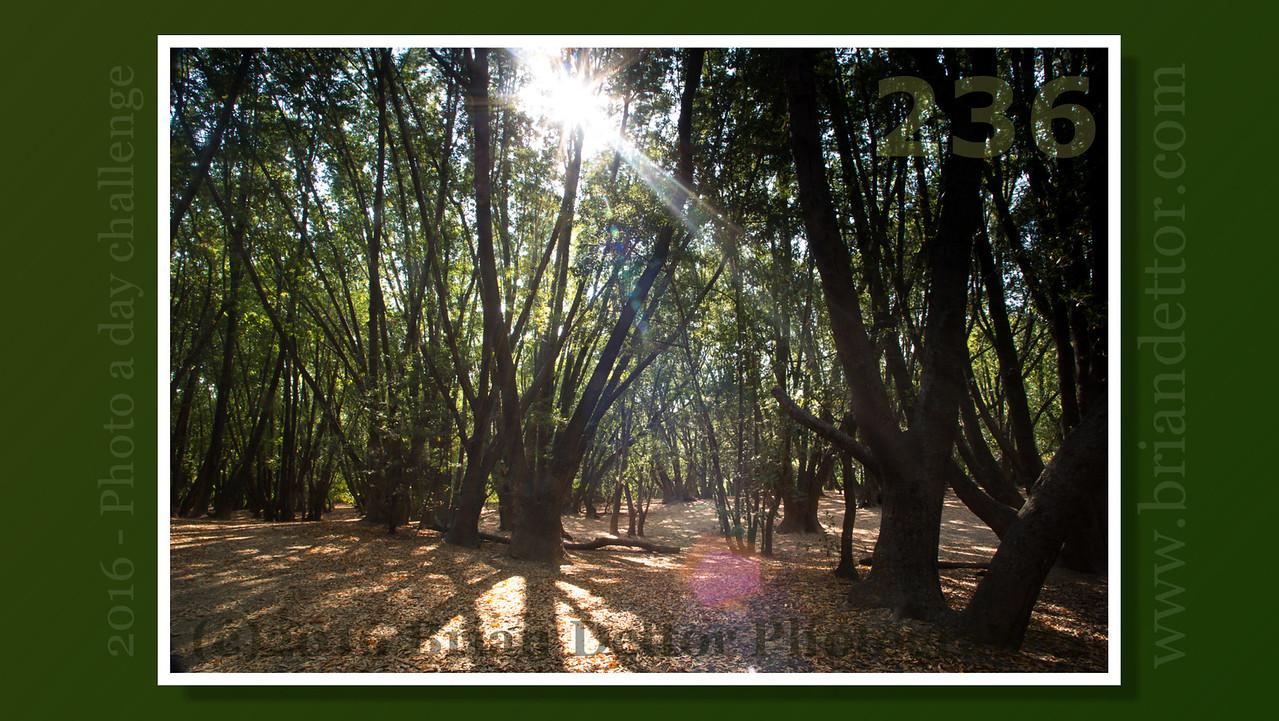 Day #236 - Marinwood Park Bay Trees