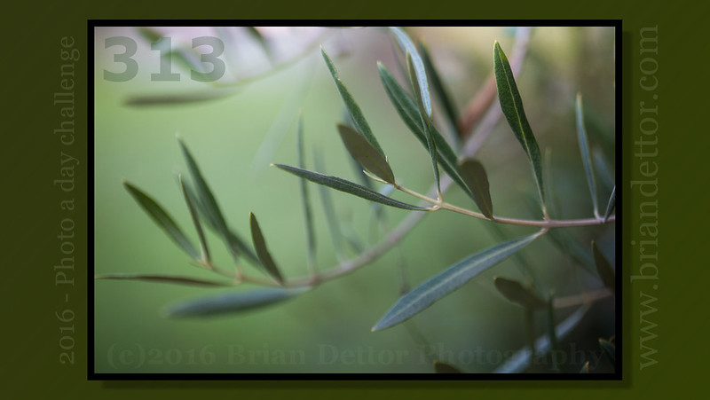Day #313 - The Olive Branch