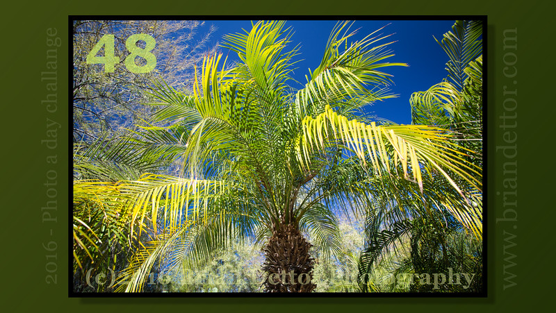 Day #48 - Squaw Peak Palm
