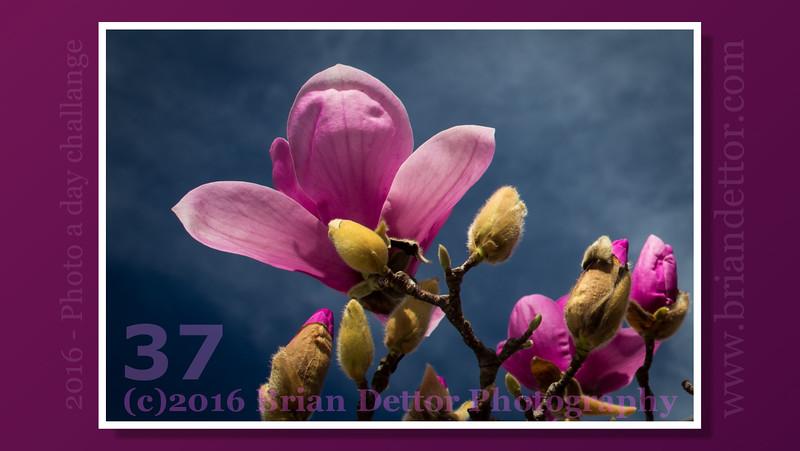 Day #37 - Magnolia