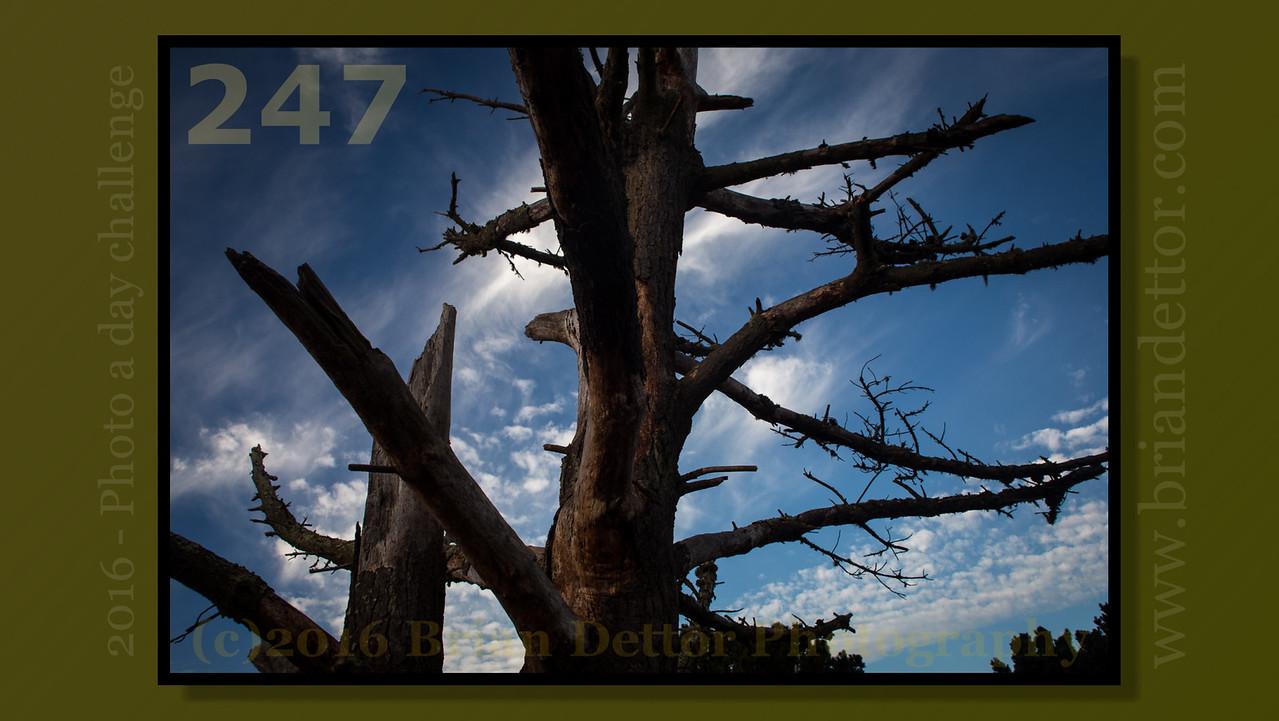 Day #247 - Marin Headlands Pine