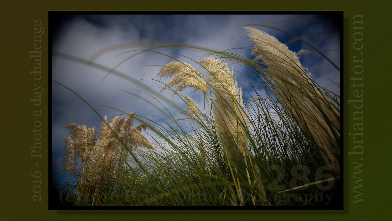Day #286 - White Pampas Grass