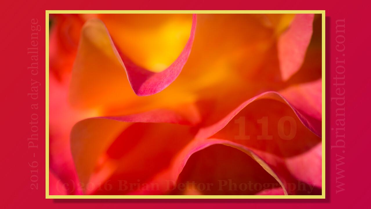 Day #110 - Rose Petals (Lydia's Garden)