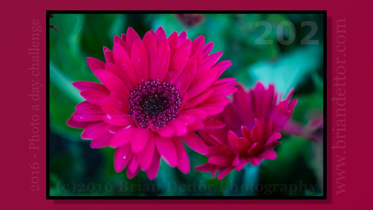 Day #202 - Zinnia Flower (Mary Silveira Garden)