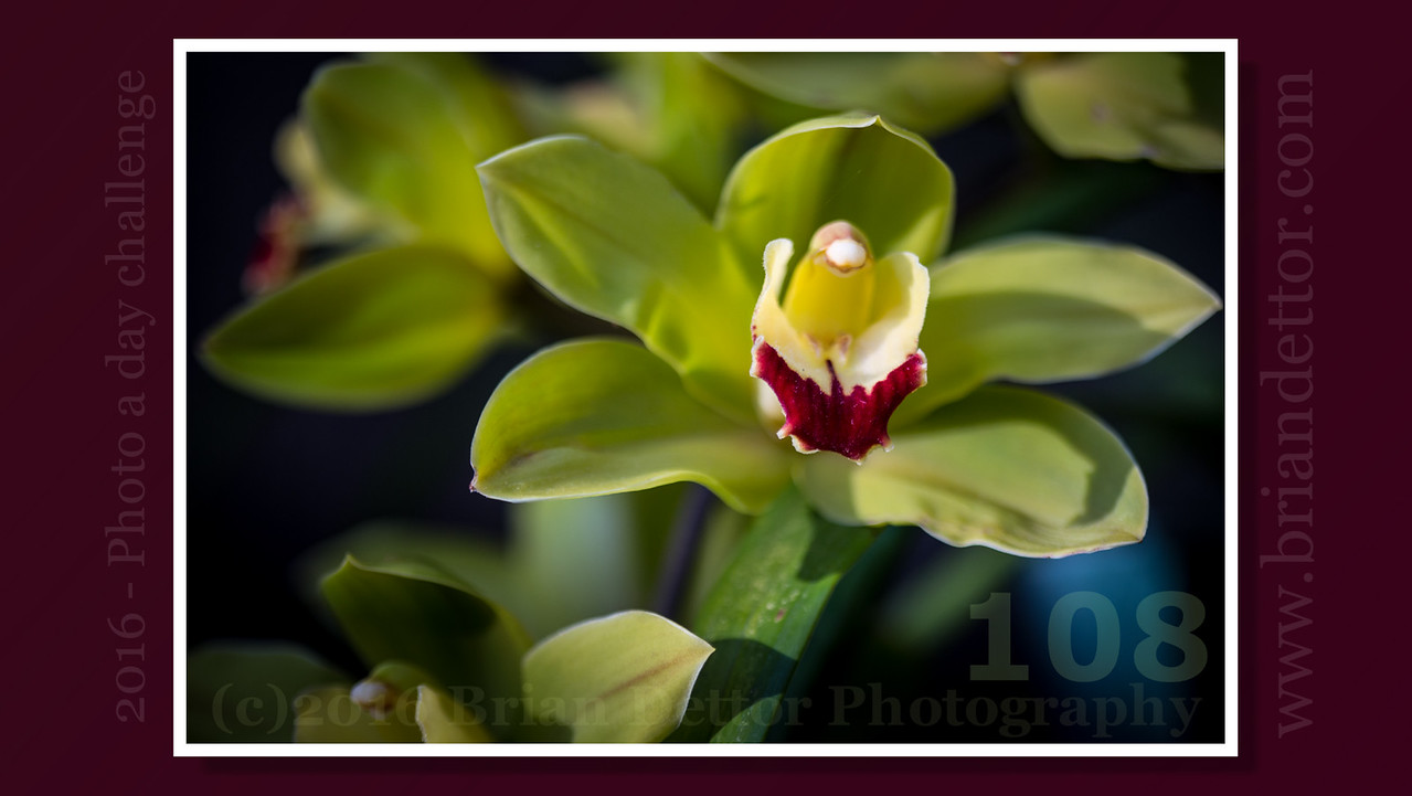 Day #108 - Morning Orchid (Carol's Garden)