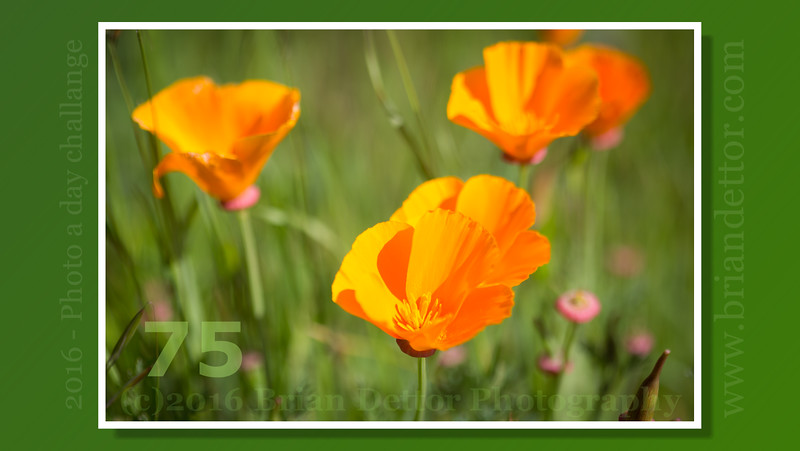 Day #75 - California Poppies