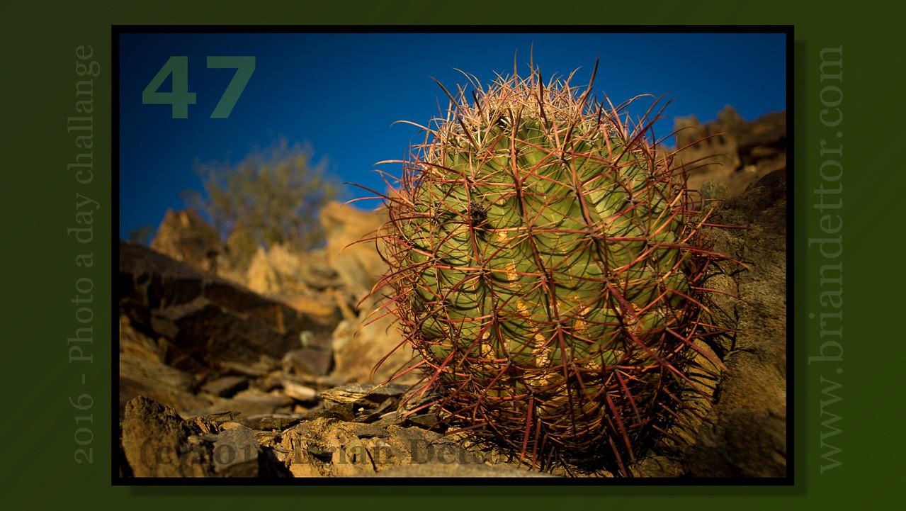 Day #47 - Phoenix Cactus
