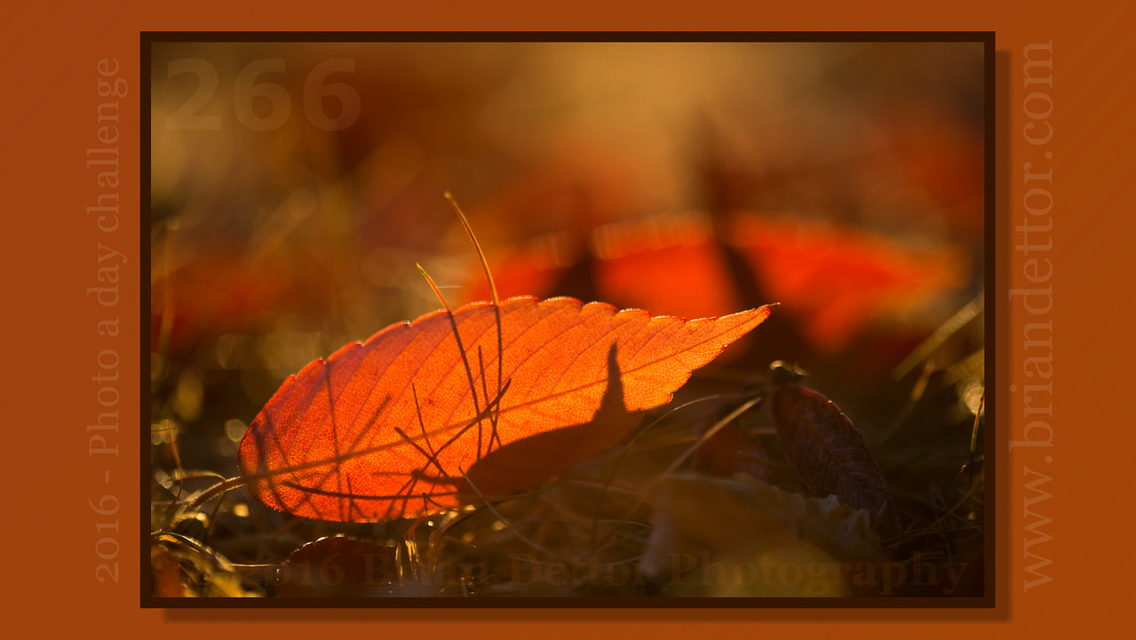 Day #266 - Fall Leaves