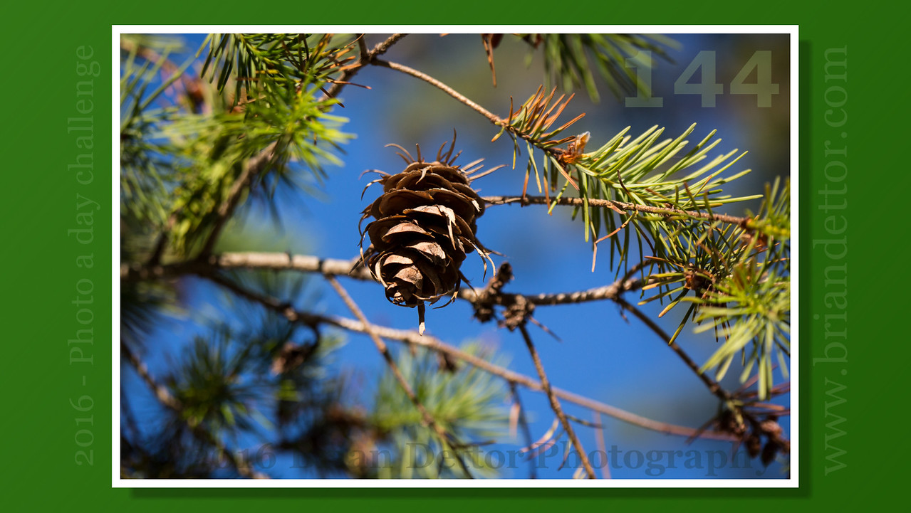 Day #144 - Pine Cone