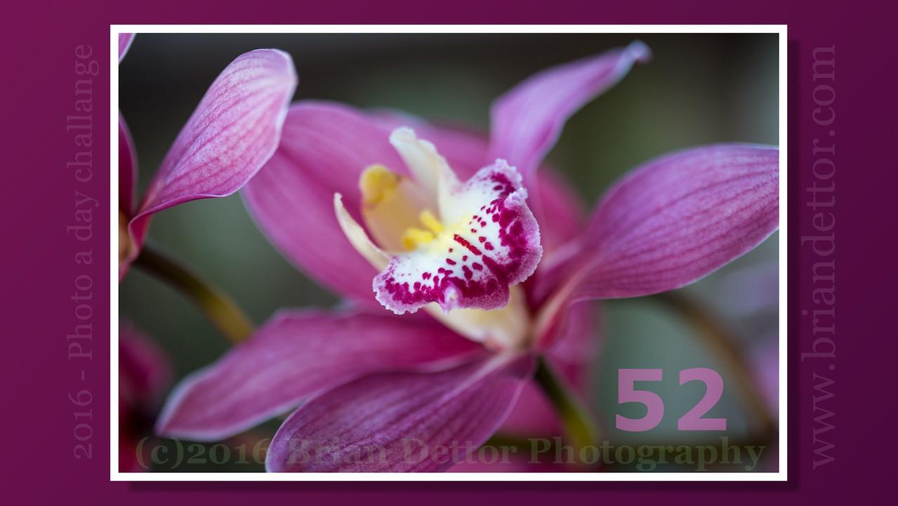 Day #52 - Orchid (Carol's Garden)